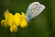 Adonis Blue Butterfly, Polyommatus bellargus, Male, Lydden Temple Ewell Reserve, Kent UK, Kent Wildlife Trust, underside of wings feeding on horseshow vetch flower, Hippocrepis comosa, foodplant for caterpillar, perennial of calcareous grasslands