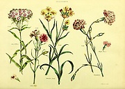 Dianthus (Carnations) from Vol 1 of the book The universal herbal : or botanical, medical and agricultural dictionary : containing an account of all known plants in the world, arranged according to the Linnean system. Specifying the uses to which they are or may be applied By Thomas Green,  Published in 1816 by Nuttall, Fisher & Co. in Liverpool and Printed at the Caxton Press by H. Fisher
