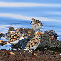 A semipalmated sandpiper (Calidris pusilla) chirps a vocal warning at another sandpiper that has come too close to its perch, Port Mahon, Delaware.