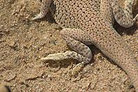 Hind foot of Colorado Desert fringe-toed lizard, Uma notata.  Algodones dunes, Imperial County, California