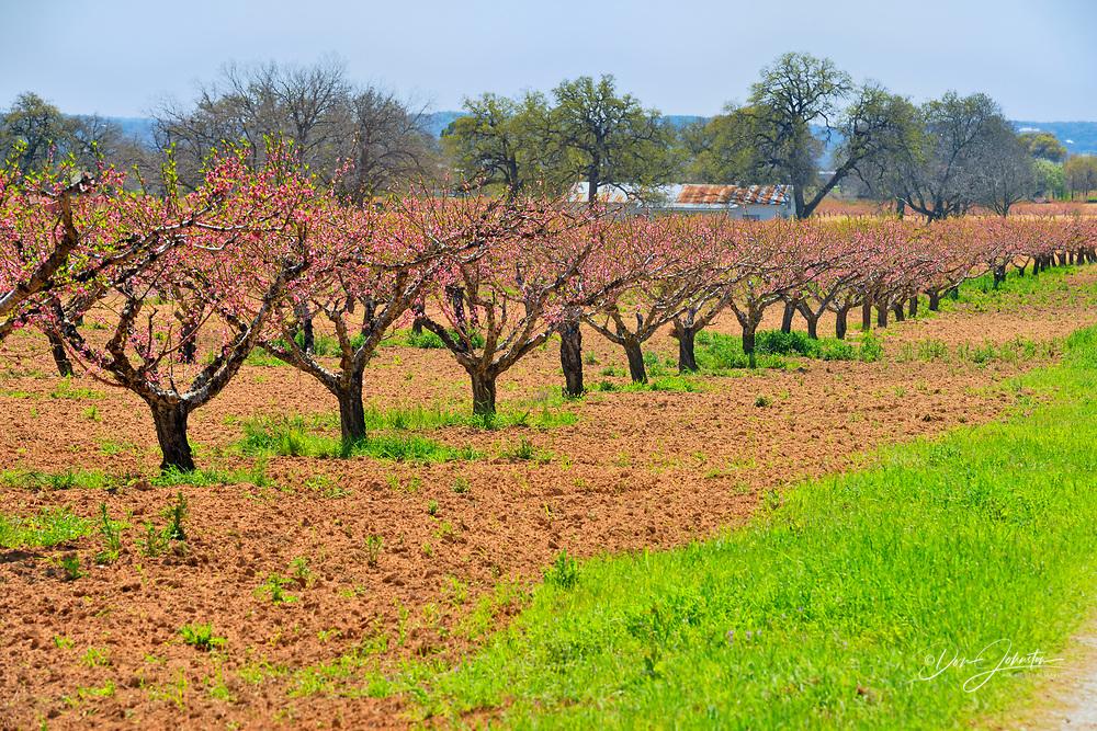 Fruit trees in bloom (pear trees), Fredriksburg, Texas, USA
