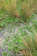 Wild Watercress growing among reeds in a watercress bed in a springwater stream  at Swinbrook, the Cotswolds, UK