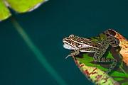 Northern leopard frog  (Lithobates pipiens) on lily pad in pond of Assiniboine Park garden.<br />Winnipeg<br />Manitoba<br />Canada