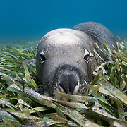 A bull Australian sea lion (Neophoca cinerea) chiling out in a bed of seagrass at Carnac Island in Western Australia