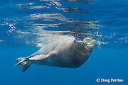 Hawaiian monk seal, Monachus schauinslandi, Critically Endangered endemic species, male breathing at surface, Lehua Rock, off Niihau, Hawaii ( Central Pacific Ocean )