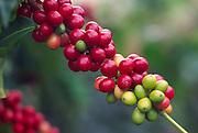 Coffee berries, Kona, Island of Hawaii<br />