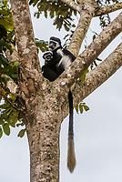 Black and white colobus monkey, Kibale Forest National Park, Uganda.