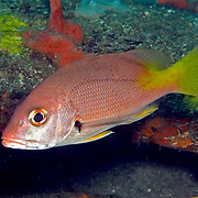Blackfin Snapper, intermediate, inhabit areas of sand and rocky outcorpping usually at depths greater than 80 feet in Tropical West Atlantic; picture taken St. Vincent.