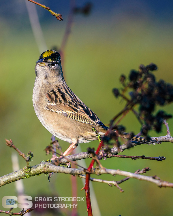 Golden-crowned Sparrow photographed at Washburn Lane.