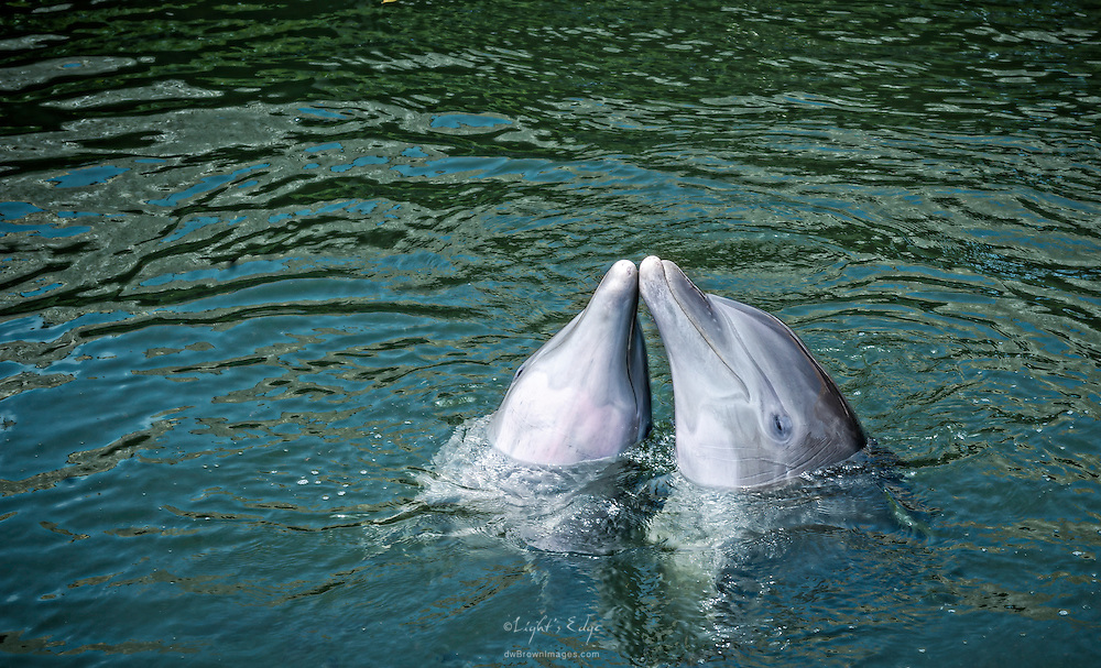 A pair of dolphins at The Dolphin Research Center in Grassy Key, Florida.