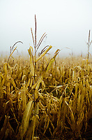 An autumn blanket of fog begins to lift from a field of aged corn stalks in souther New Jersey.
