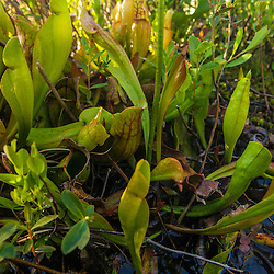 Pitcher plant, Sarracenia purpurea, on the shoreline of Little Berry Pond in Maine's Northern Forest. Cold Stream watershed, Johnson Mountain Township.