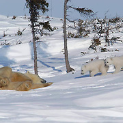 Mother and cub polar bear traveling towards Hudson Bay passes through a spruce forest in Wapusk National Park.  It's early March and the temperatures are -46F, this is the time mother and cubs merge from the den. Manitoba, Canada