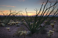 Sonoran desert sunset with Ocotillo (Fouquieria splendens) and Teddy Bear Cholla cactus (Cylindropuntia bigelovii), Kofa Mountains Wildlife Refuge Arizona