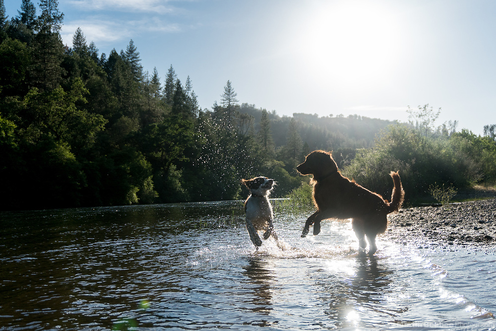 Two dogs play in the South Fork American River, El Dorado County, California