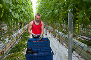 Hand picking cherry tomatoes. The Cornerways tomato nursery is the largest greenhouse in the UK. It is attached to the British Sugar factory in Wissington, Norfolk. The project is a revolutionary CHP combined heat and power system that uses the heat produced by refining sugar beet into sugar, to heat the tomato plants that are grown hydroponically.