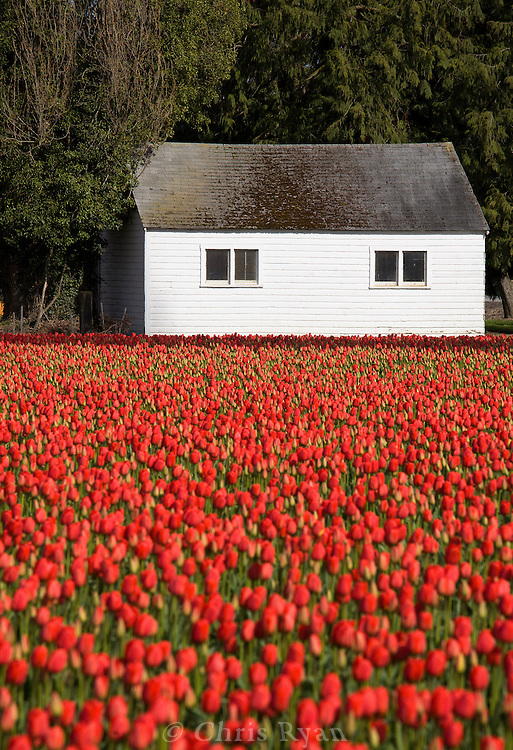 Barn and tulip field in spring, Washington state