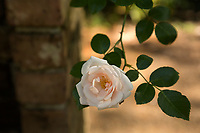 NC01341-00...NORTH CAROLINA - Rose in the Rose Garden at the Elizabethan Gardens , at popular tourist attraction in Manteo on Roanoke Island.
