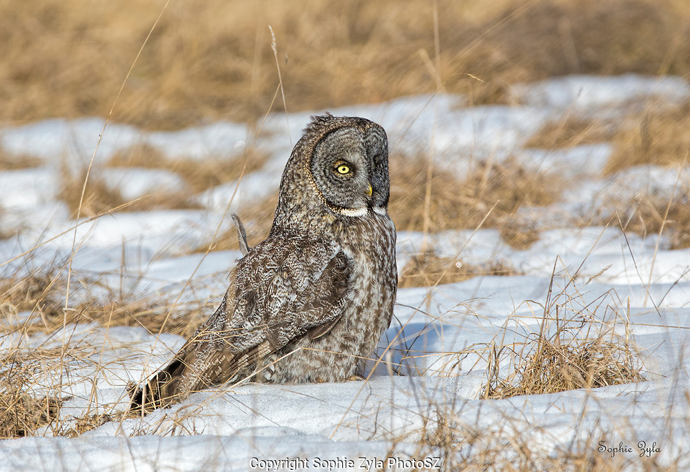 Great Gray Owl foraging