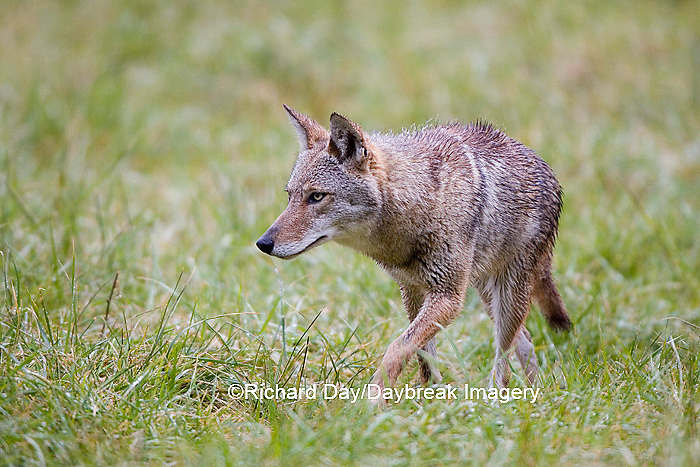 01864-034.05 Coyote (Canis latrans) in field, Cades Cove, Great Smoky Mountains NP, TN