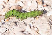 Emperor moth (Saturnia pavonia) larva on heathland track. Hampshire, UK.