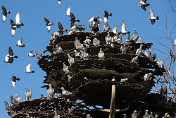 © Licensed to London News Pictures . 20/10/2018 . Manchester , UK . Dozens of pigeons congregate on the metal branches of Japanese architect Tadao Ando 's Piccadilly Gardens tree sculpture . Photo credit : Joel Goodman/LNP