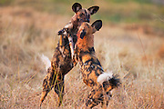 African Wild Dogs (Lycaon pictus) playing on a cool winter morning, Moremi Game Reserve,Botswana, Africa