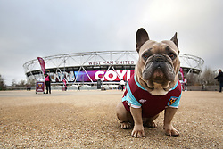 23 December 2017 - Premier League Football - West Ham United v Newcastle United - Bubbles the French Bulldog poses outside the London Stadium in West Ham colours - Photo: Charlotte Wilson / Offside