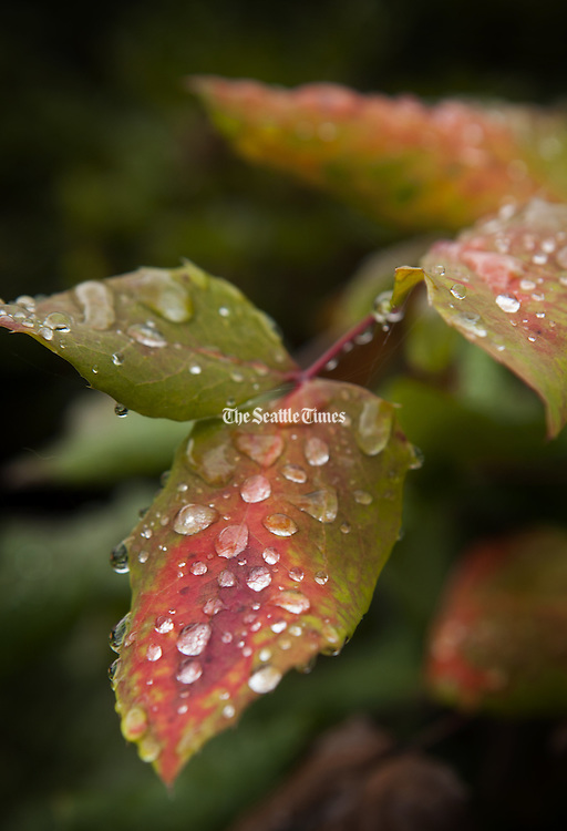 Water droplets shimmer on leaves on a plant at Kubota Garden in Seattle one rainy day. (Ellen M. Banner / The Seattle Times)