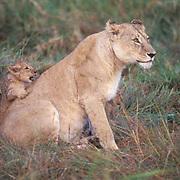 African Lion, (Panthera leo) Cub playing with mother. Masai Mara. Kenya. Africa.