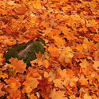 """""""Freshly Fallen Leaves""""<br /> <br /> A carpet of wonderful colorful fallen leaves!!<br /> <br /> Fall Foliage by Rachel Cohen"""