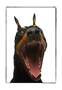 """SHOT 2/18/08 12:01:15 PM - Portraits of various dogs at the 13th Annual Rocky Mountain Cluster dog show at the National Western Complex in Denver, Co. """"Axel"""", a three year old male Doberman Pinscher lets out a big yawn while being photographed. """"Axel"""" is owned by Shelley Voorhees of Centennial, Co. and is a show Champion. The Doberman Pinscher (alternatively spelled Dobermann in many countries) or Doberman is a breed of domestic dog. Doberman Pinschers are among the most common of pet breeds, and the breed is well known as an intelligent, alert, and loyal companion dog. Although once commonly used as guard dogs, watch dogs, or police dogs, this is less common today. Doberman Pinschers typically have a deep, broad chest, and a powerful, compact, and square muscular body of medium size. Doberman Pinschers were first bred in Germany around 1890 by Karl Friedrich Louis Dobermann. Dobermann was a tax collector who frequently traveled through many bandit-infested areas, and needed a protection dog to guard him in any situation that might arise. He set out to breed a new type of dog that, in his opinion, would be the perfect combination of strength, loyalty, intelligence, and ferocity. The breed is believed to have been created from several different breeds of dogs that had the characteristics that Dobermann was looking for, including the Pinscher, the Beauceron, the Rottweiler, the Thuringian Shepherd Dog, the black Greyhound, the Great Dane, the Weimaraner, the German Shorthaired Pointer, the Manchester Terrier and the German Shepherd Dog. The competition features some of the top show dogs in the country and showcases close to 200 different breeds. Some 3,500 dogs and some of the top handlers in the country compete at the event which follows on the heels of Westminster. In a conformation show, judges familiar with specific dog breeds evaluate individual dogs for how well they conform to published breed standards. Conformation shows are also referred to as dog shows or br"""
