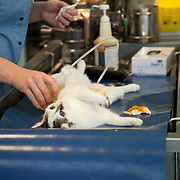 Cat (Felis Catus)  lying on table in clinic under anaesthesia,  preparation for castration. France
