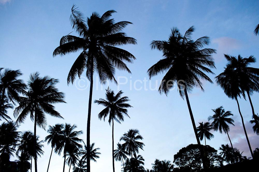 Palm trees in silhouette, Itacre, Bahia, Brazil.