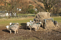 Herdwick sheep in Langdale Valley, Cumbira