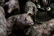 Adult pigs covered in mud sit in a pen at the Jia Hua antibiotic-free pig farm in Tongxiang, China, on Thursday, Sept. 15, 2016. Hog farmer Shen Jian-Ping has spent 4.7 million yuan $700,000 giving his swine roomier, better-ventilated digs and there are three full-time veterinarians to help keep the 465-sow herd healthy. Recent African Swine Flu has had a major impact on pig farms across the nation.