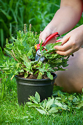 Trimming back a perennial salvia before planting in a border to encourage sturdier and bushier growth