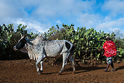 Local man & zebu<br /> South Madagascar<br /> MADAGASCAR