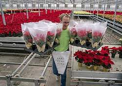 November 20, 2018 - Farmington, MN, USA - United States - Crews, including Tom Rud, cq, worked on processing the more than 70,000 holiday-ready poinsettias at the Bachman's Growing Range and Greenhouse, Tuesday, November 20, 3018 in Farmington, MN.       ]  ELIZABETH FLORES • liz.flores@startribune.com (Credit Image: © Elizabeth Flores/Minneapolis Star Tribune via ZUMA Wire)