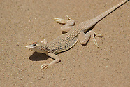 Colorado Desert Fringe-toed Lizard, Uma notata