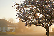 Keizer neighborhood on a spring morning with a light fog.