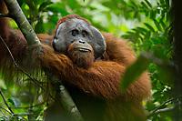 "Bornean Orangutan - ""wurmbii"" subspecies<br /> (Pongo pygmaeus wurmbii)<br /> <br /> Adult male ""Codet""<br /> <br /> Cabang Panti Research Station<br /> Gunung Palung National Park<br /> West Kalimantan, Indonesia<br /> Borneo Island"
