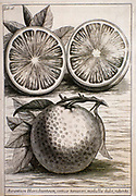 Citrus fruit (Orange) engraved botanical plates from 'Catalogus plantarum horti Pisani' by Michelangelo Tilli (Pisa 1723)