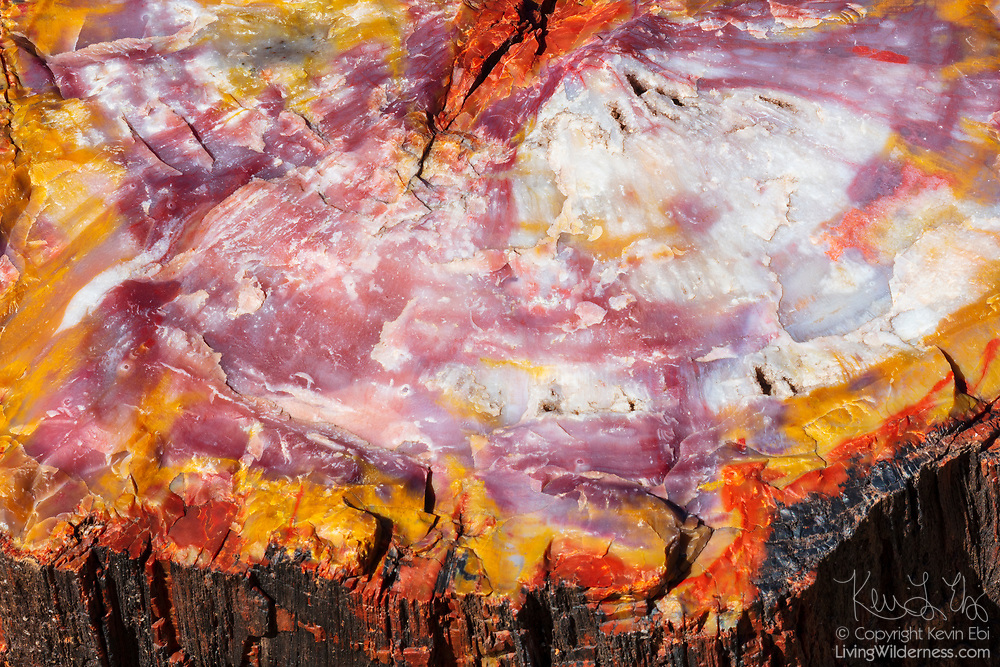 A cross-section of petrified wood displays a wide spectrum of colors in the Rainbow Forest of Petrified Forest National Park in Arizona. The petrified wood in the park is made up of almost solid quartz and the colors are the result of impurities in the quartz, such as iron, carbon and manganese. It formed more than 200 million years ago when logs washed into an ancient river system. The logs were quickly buried by sediment, which slowed decay. Over time, minerals, including silica, were absorbed into the porous wood, replacing the original organic material over hundreds of thousands of years.