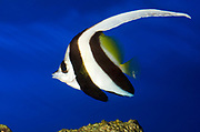 A Black and white Heniochus or Longfin Bannerfish or Wimplefish (Heniochus acuminatus) showing its stunning elongated dorsal fin swimming in an aquarium at the King's Lynn Koi Centre Norfolk