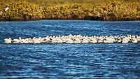 American White Pelican (Pelecanus erythrorhynchos). Black Point Wildlife Drive. Merritt Island National Wildlife Refuge. Image taken with a Nikon D3x camera and 500 mm f/4 VR lens.
