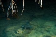 Spotted eagle ray (Aetobatus narinari)<br /> Black Turtle Cove, Santa Cruz Island<br /> Galapagos Islands<br /> Ecuador<br /> South America