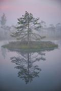 Wood sandpiper (Tringa glareola) perching on top of scots pine growing on floating island in bog pool, Kemeri National Park (Ķemeru Nacionālais parks), Latvia Ⓒ Davis Ulands   davisulands.com