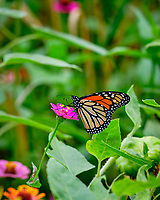 Monarch Butterfly. Image taken with a Fuji X-T2 camera and 200 mm f/2 lens
