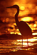 Great Blue Heron at sunset on gulf coast - Mississippi.
